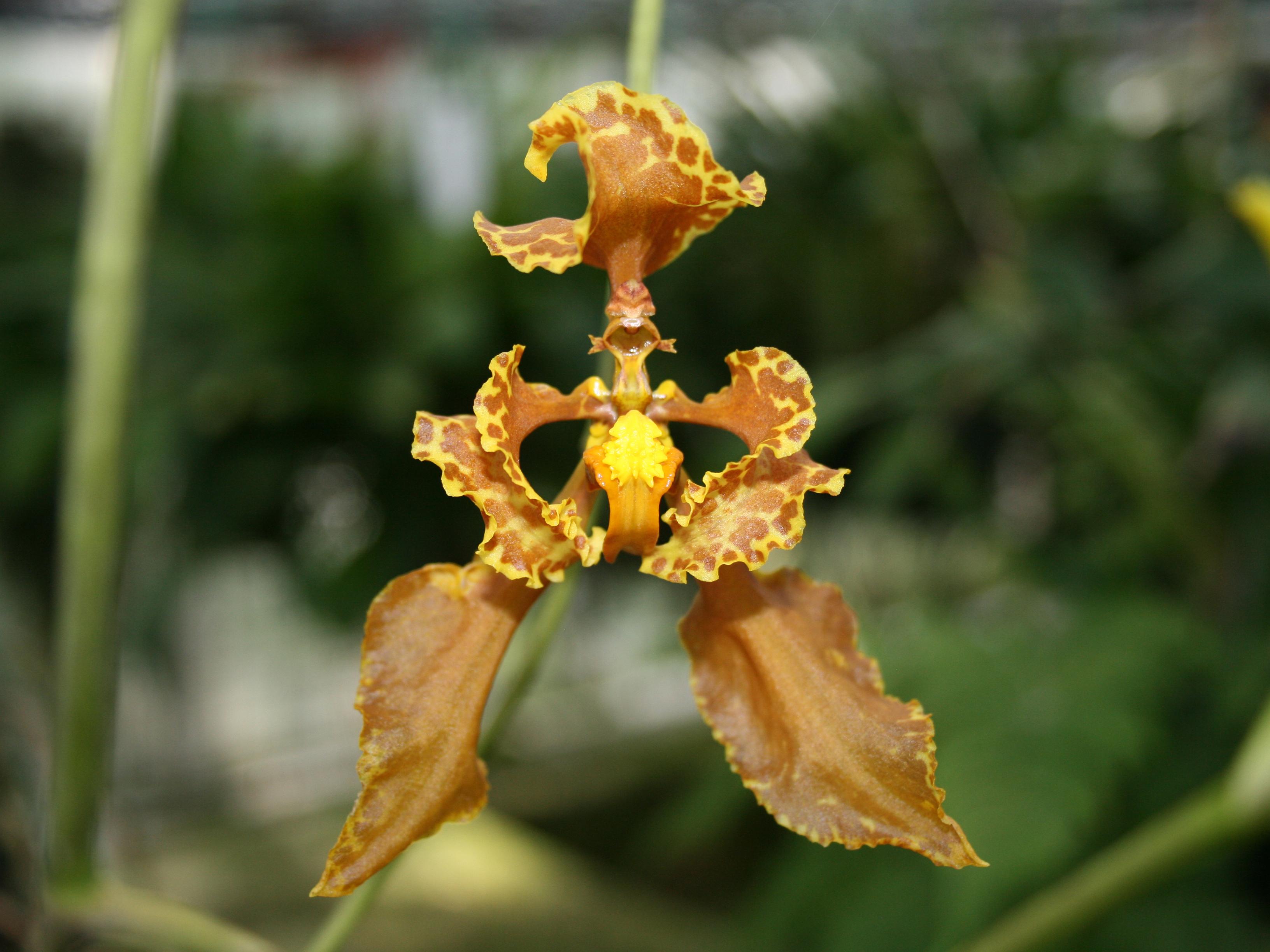 Cyrtochilum verstraeteanum